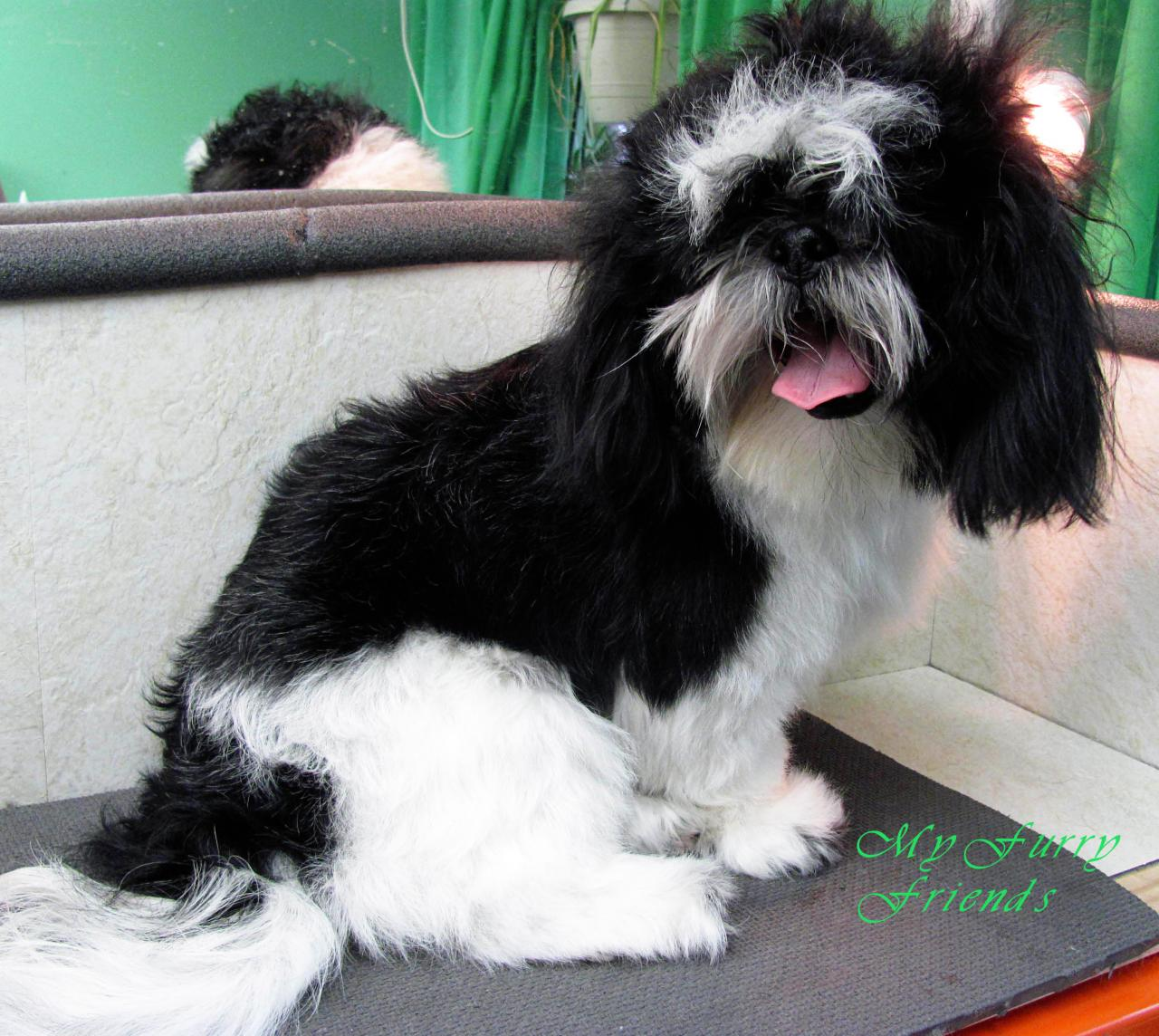 My furry friends pet grooming self serve pet wash before after shih tzu solutioingenieria Gallery