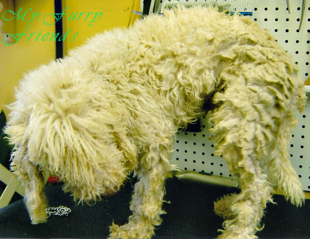 My furry friends pet grooming self serve pet wash before after bedlington terrier solutioingenieria Image collections